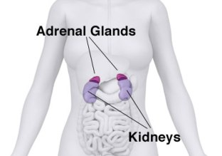 245810-adrenal-diagram